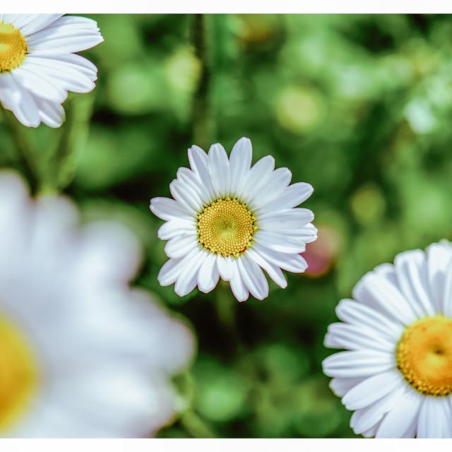 """""""Daisy, Daisy"""" stock image"""