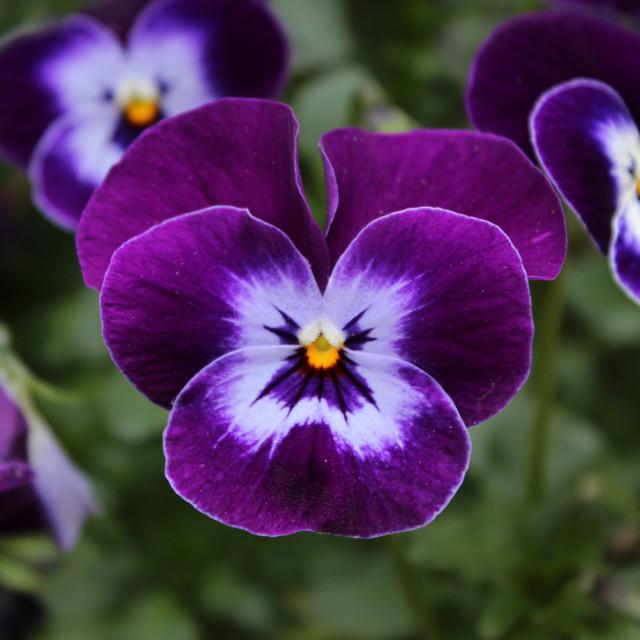 """Good Morning, Viola"" stock image"