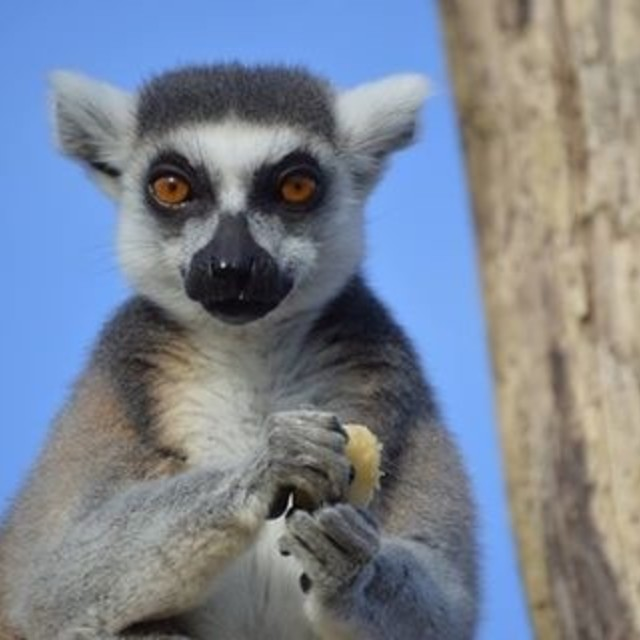 """Lemur stare out"" stock image"