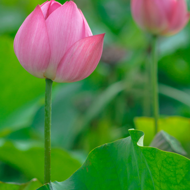 """Pink backlit lotus"" stock image"