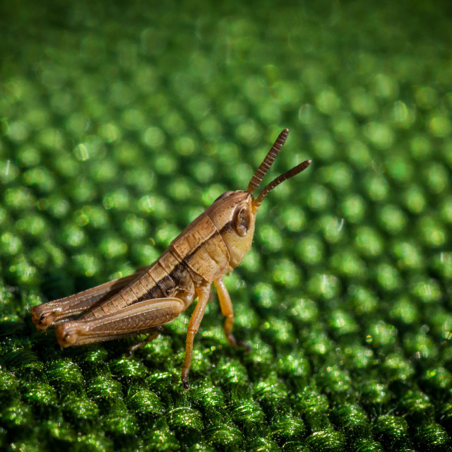 """Grasshopper on green material"" stock image"