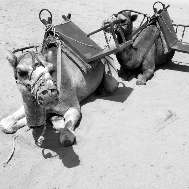 """Camel"" stock image"