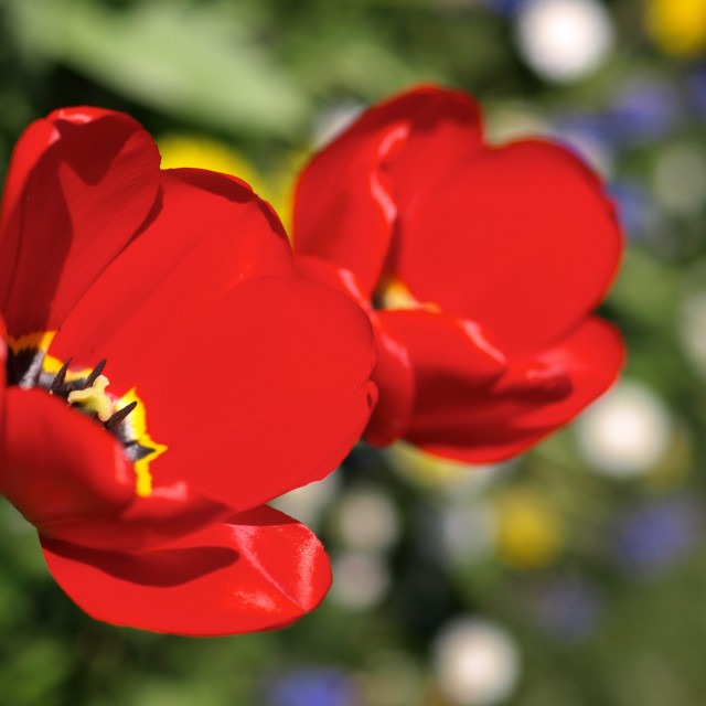 """Red Tulips"" stock image"