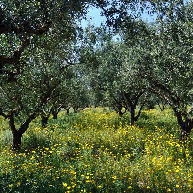 """olive trees"" stock image"