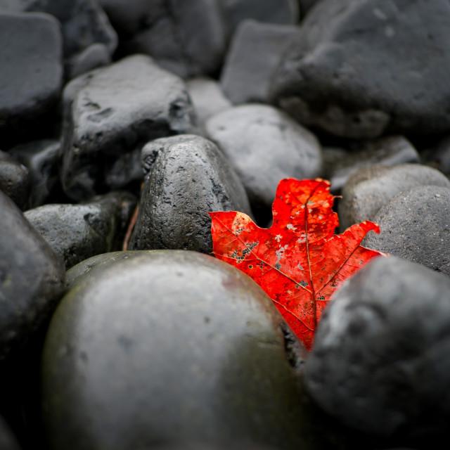 """Red Leaf"" stock image"