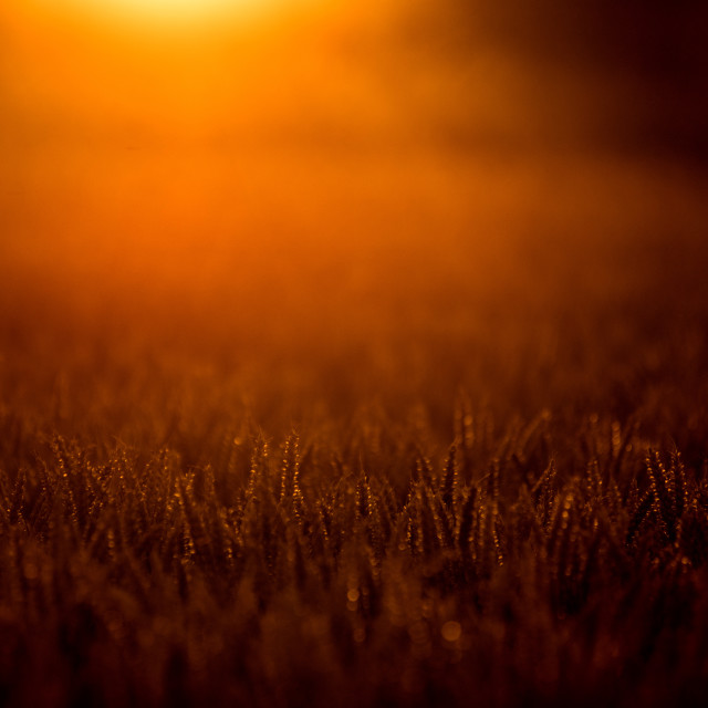 """Wheat Field at Sunset"" stock image"