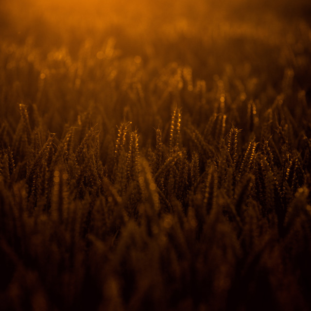 """Wheat Field at Sunset"" stock image"