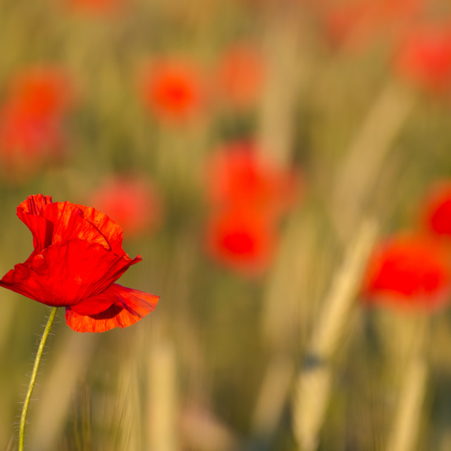 """Focused poppy flower"" stock image"