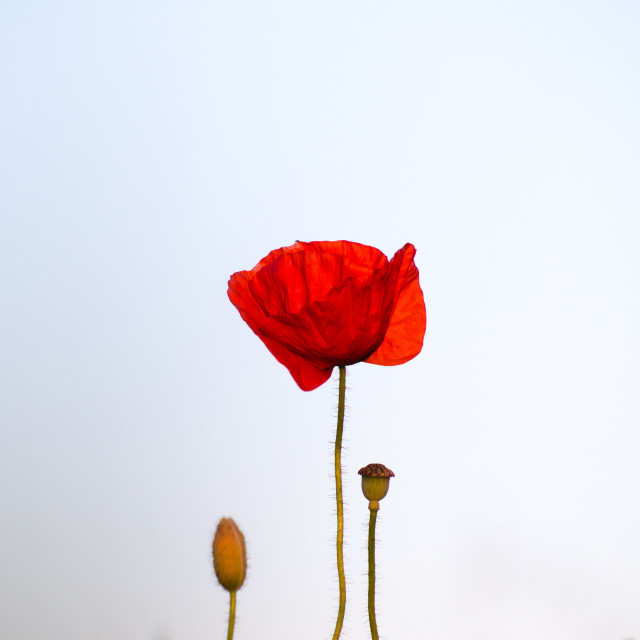 """Poppy Flower Portrait"" stock image"