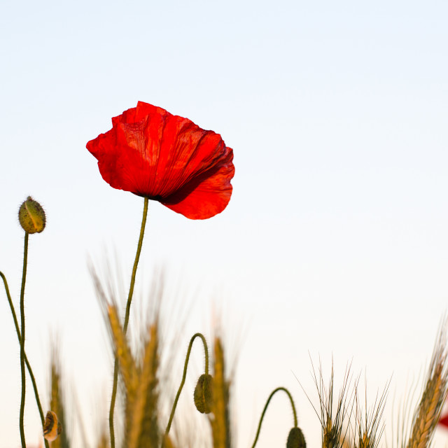 """Poppy flower in a corn field"" stock image"