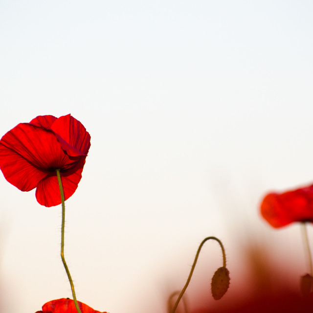 """Poppy in a soft red field"" stock image"