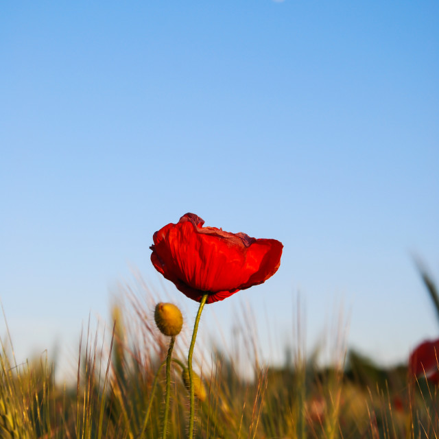 """Moon over poppy field"" stock image"