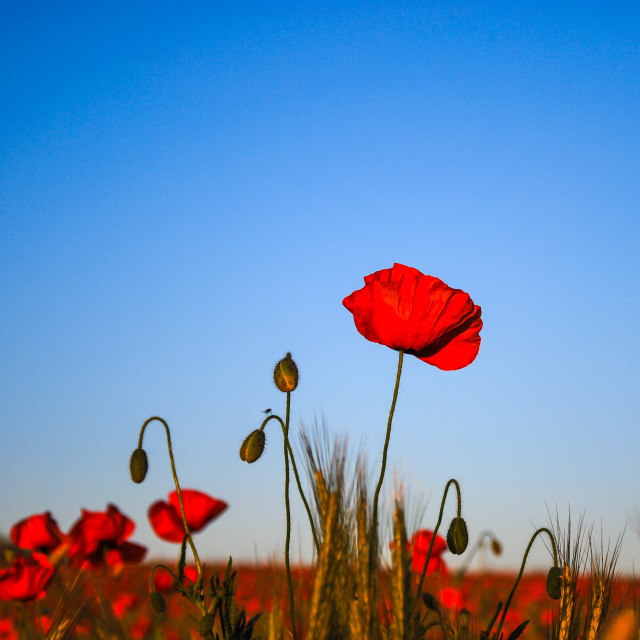 """Colourful poppy field"" stock image"