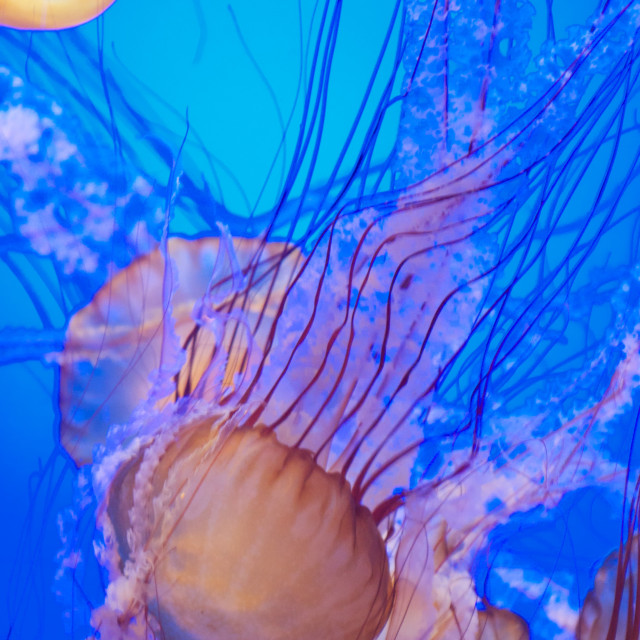 """Vertical group of jellies in deep blue water"" stock image"