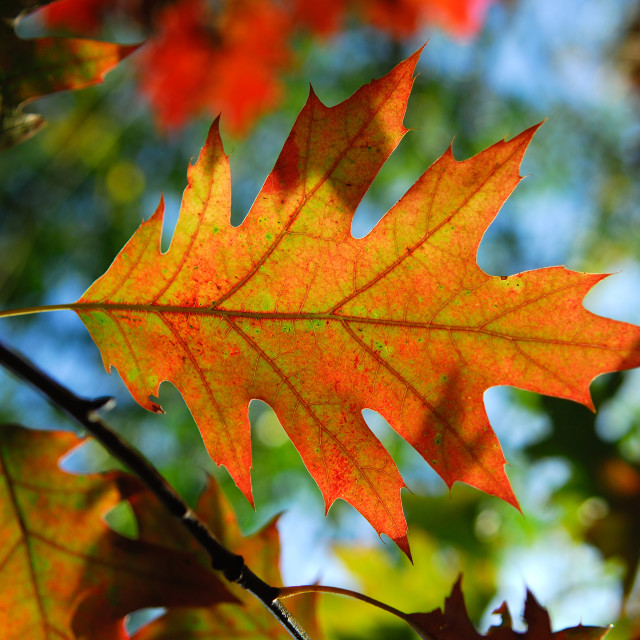 """Autumn Leaf ."" stock image"