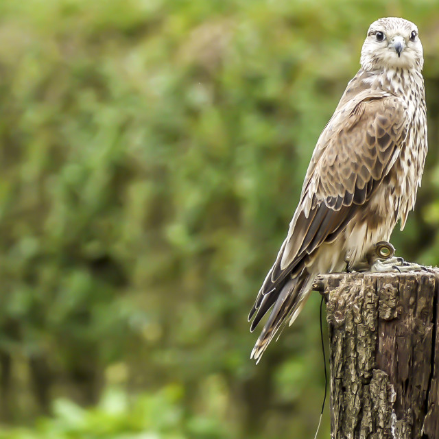 """Hawk on a post."" stock image"