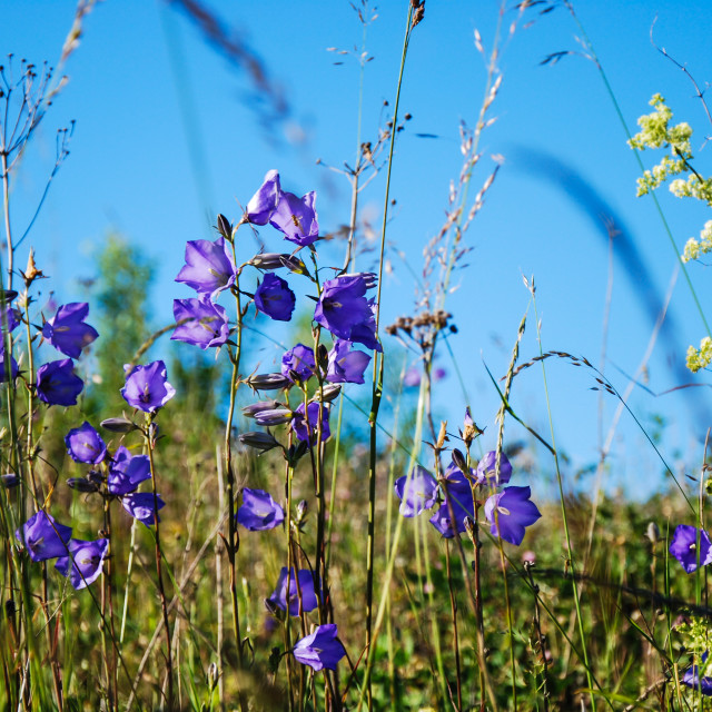 """Bellflowers"" stock image"