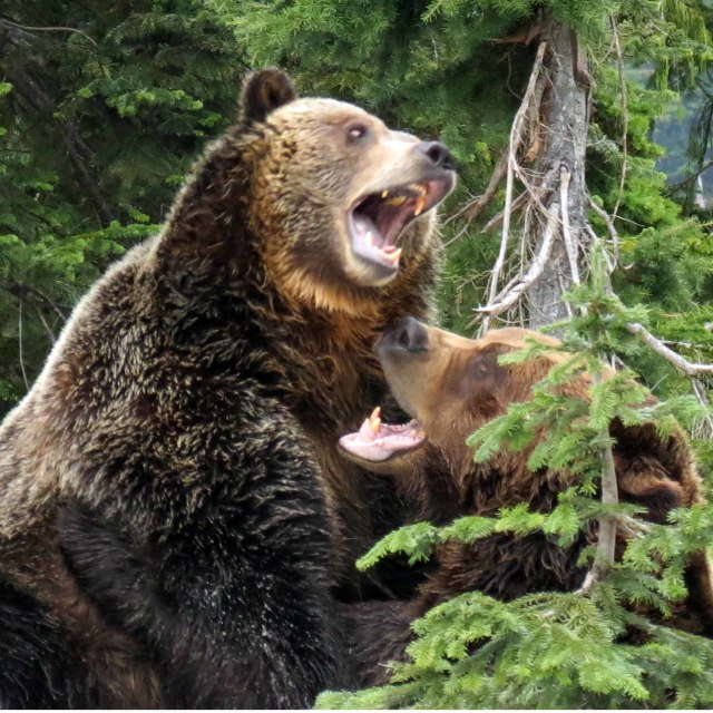"""Grizzly Bears"" stock image"