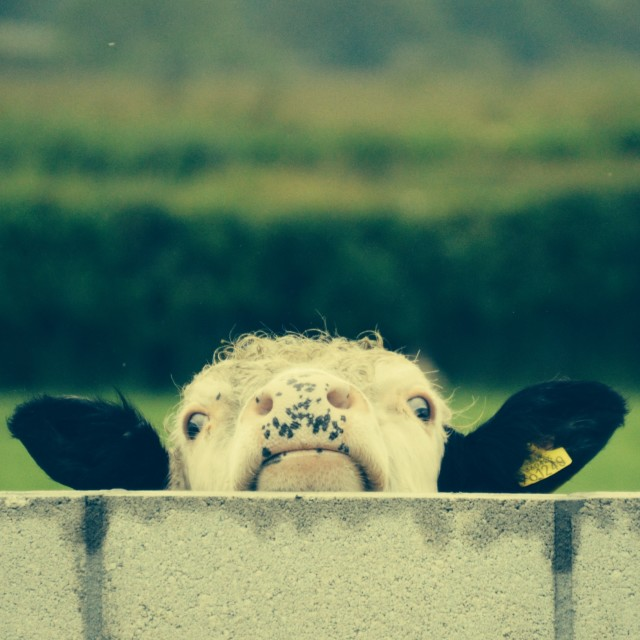 """Nosey cow"" stock image"