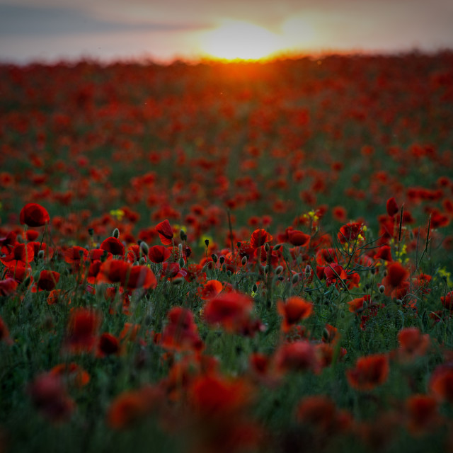 """Lincolnshire Poppy Field at Sunset"" stock image"