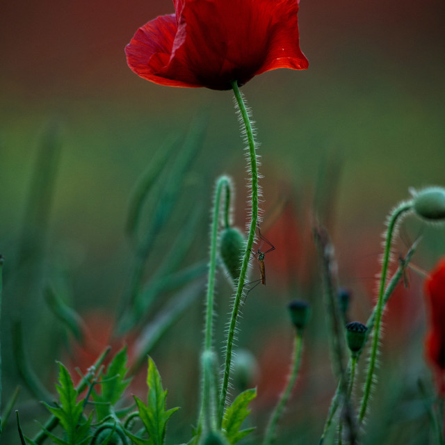 """Poppy Field at Sunset"" stock image"