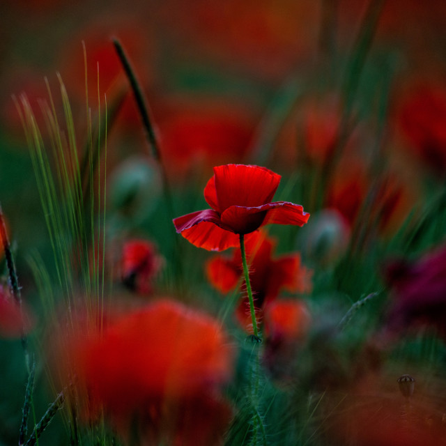 """Poppy at Sunset"" stock image"