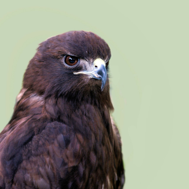 """Red Tailed Hawk"" stock image"