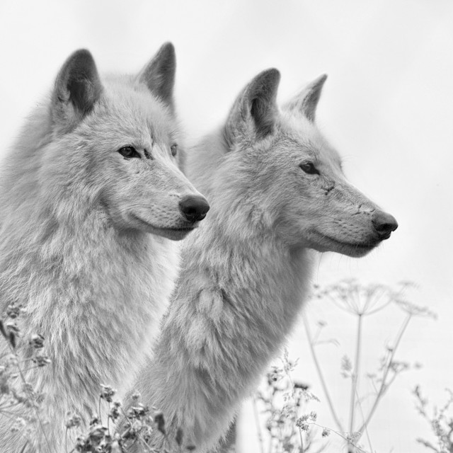 """Pair of wolves"" stock image"