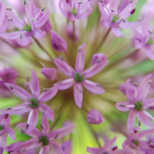 """""""Allium"""" stock image"""