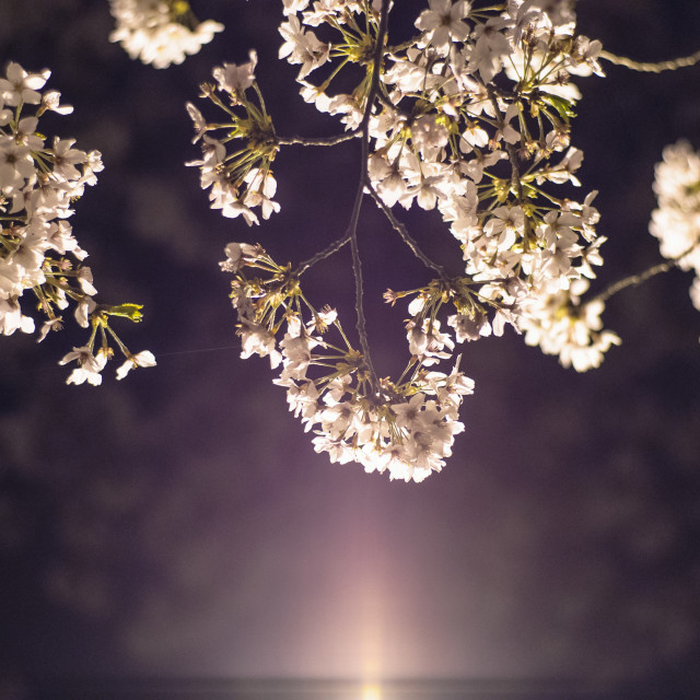"""cherry blossoms at night"" stock image"