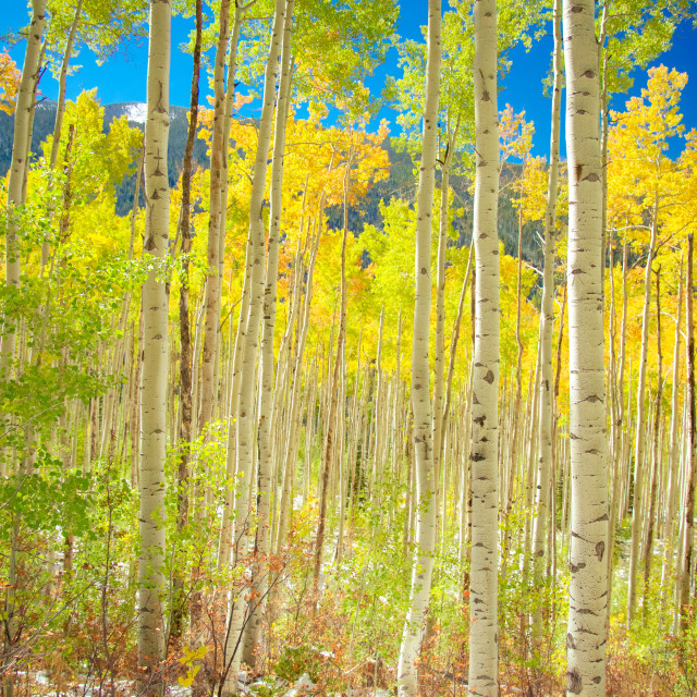 """Fall Aspens"" stock image"