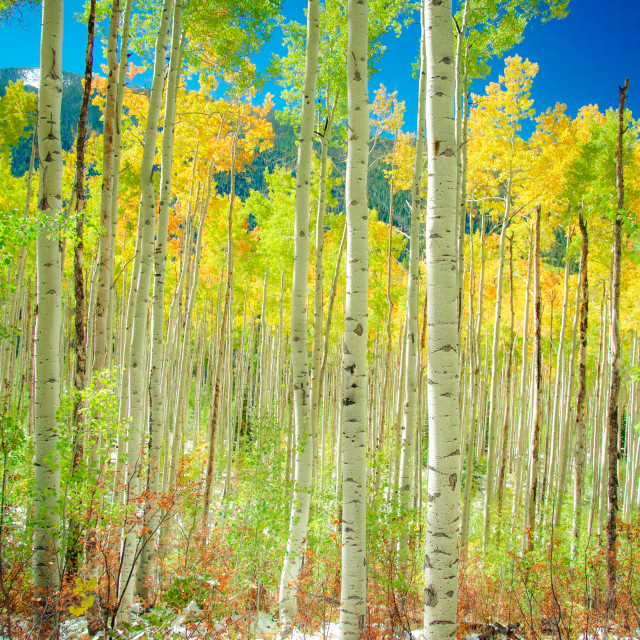 """Aspen in the fall"" stock image"