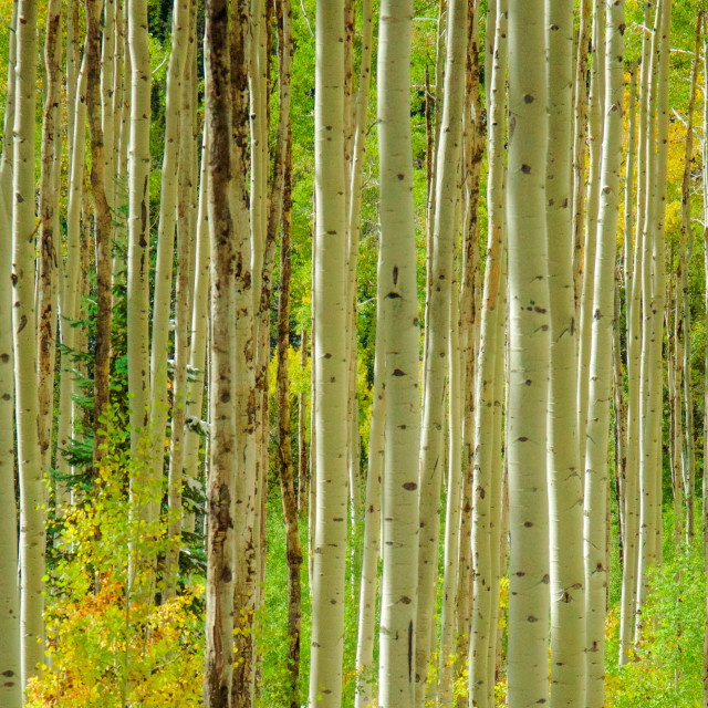 """Aspen Grove in the Fall"" stock image"