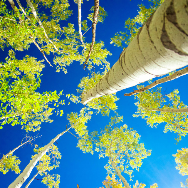 """Looking up the Aspens"" stock image"