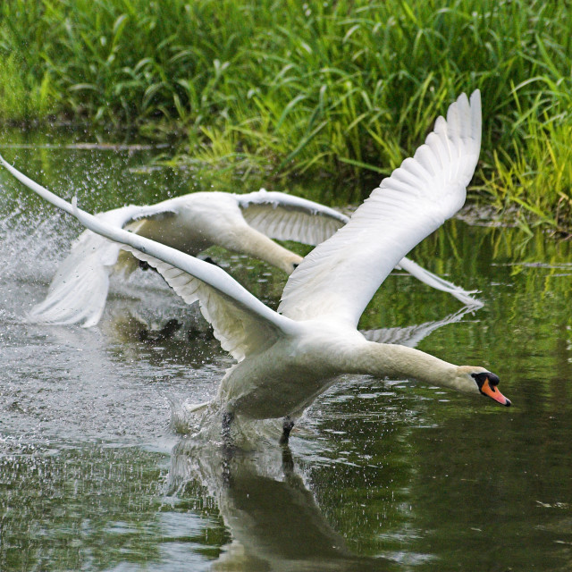 """Swans takeoff"" stock image"