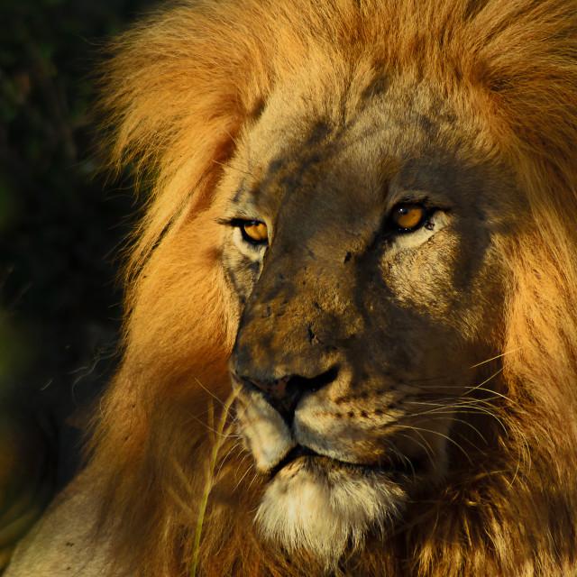 """Golden Lion"" stock image"