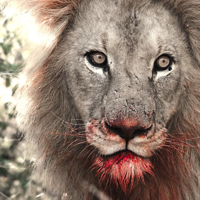 редкий черный лев картинки стоит
