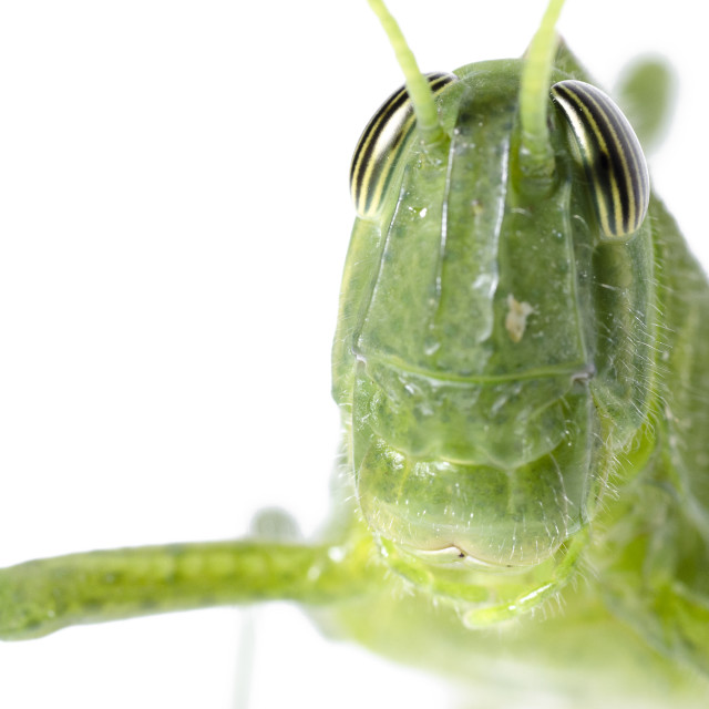 """Grasshopper Portrait"" stock image"