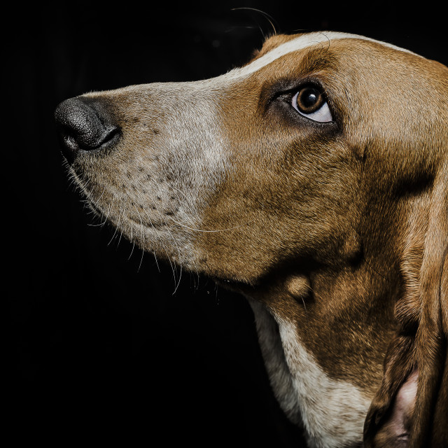 """Beagle on black background"" stock image"