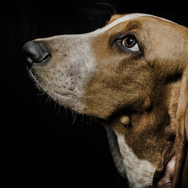 """""""Beagle on black background"""" stock image"""