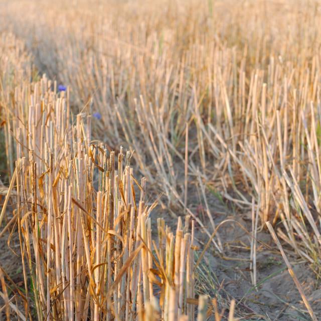 """Wheat Stubble Close-up"" stock image"