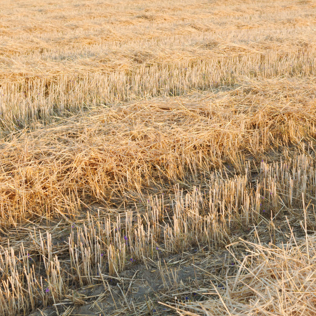 """Tractor Tracks on Wheat Stubble"" stock image"