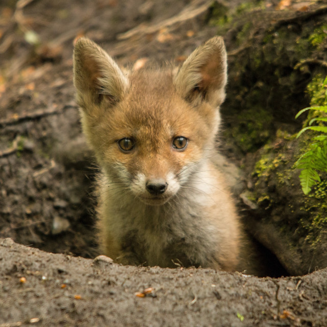"""Red fox cub"" stock image"