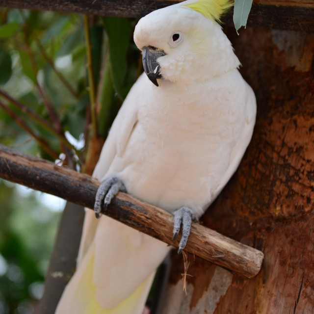 """Sulphur Crested Cockatoo"" stock image"