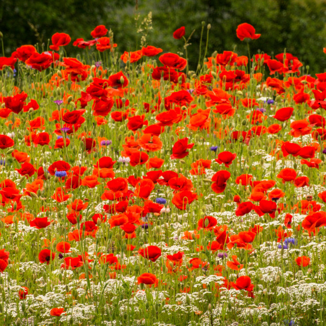 """Sea of Poppies"" stock image"