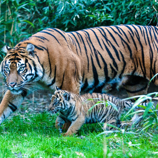 """Tiger with Cub"" stock image"