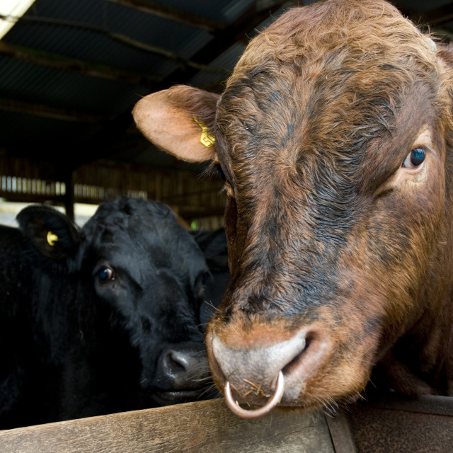 """""""Two cows"""" stock image"""