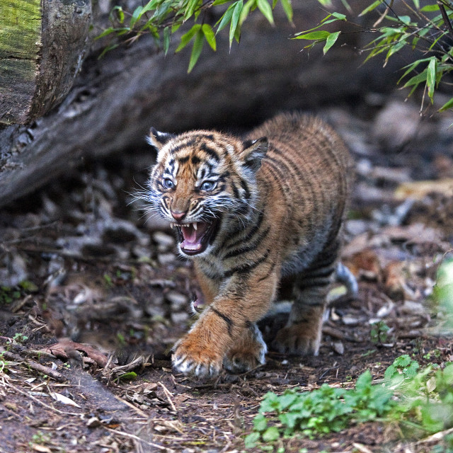"""Tiger Cub"" stock image"