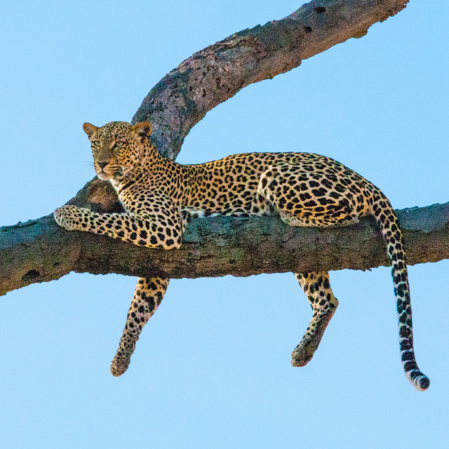 """Leopard"" stock image"