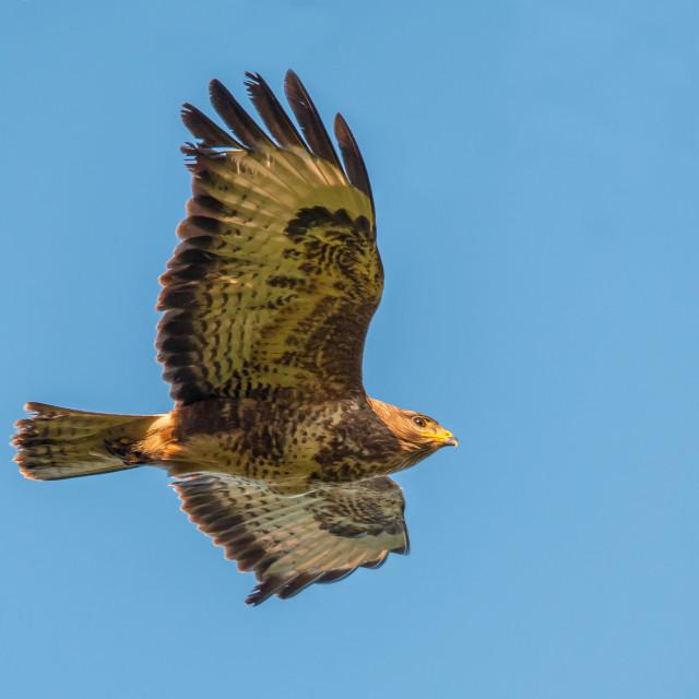 """Common Buzzard flight (Buteo buteo)"" stock image"